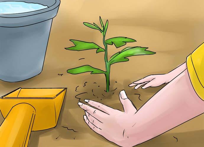 Лучшее время для высаживания хризантем — пасмурный или дождливый день